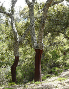 harvested cork tree