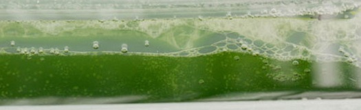 Algae culture for use as a biofuel