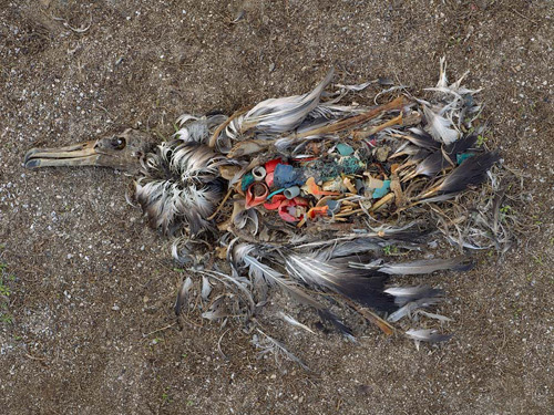 Plastic in Sea Birds Stomach