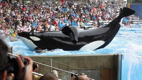 Tilicum Orca Killer Whale