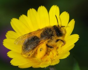 native solitary mining bee