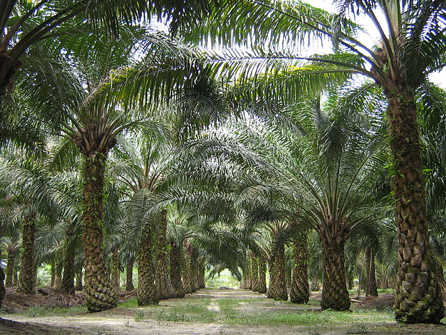 Palm oil monoculture