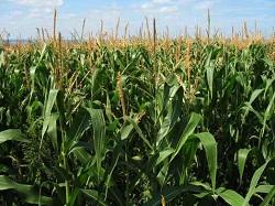 GMO Corn Plastic